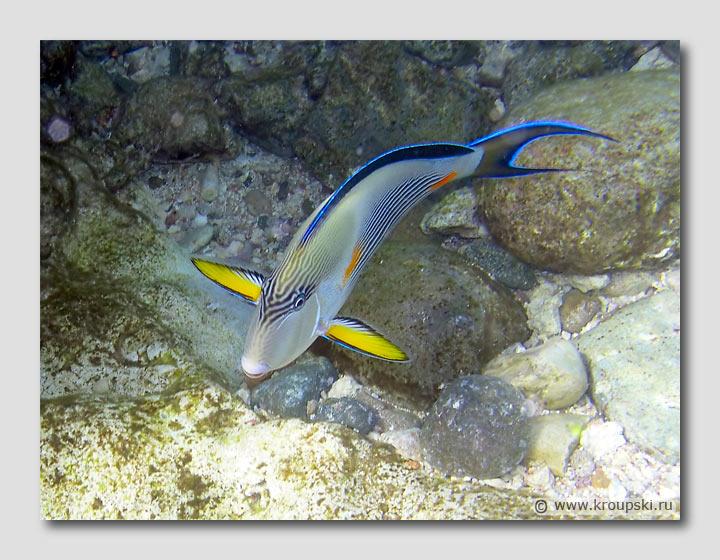 Одна из самых красивых рыб - Acanthurus Sohal Surgeonfish (рыба-хирург).